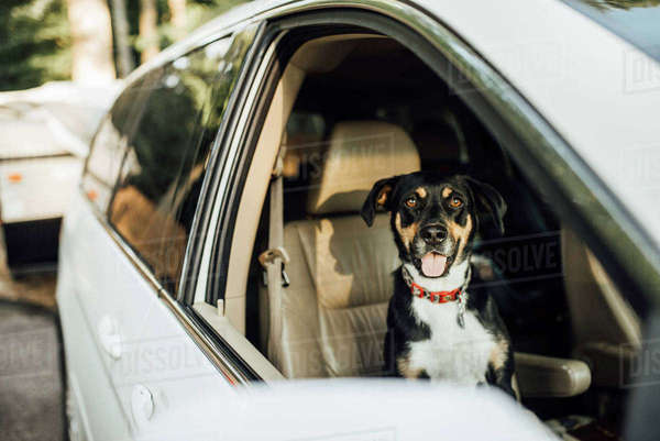 Portrait of dog in car Royalty-free stock photo