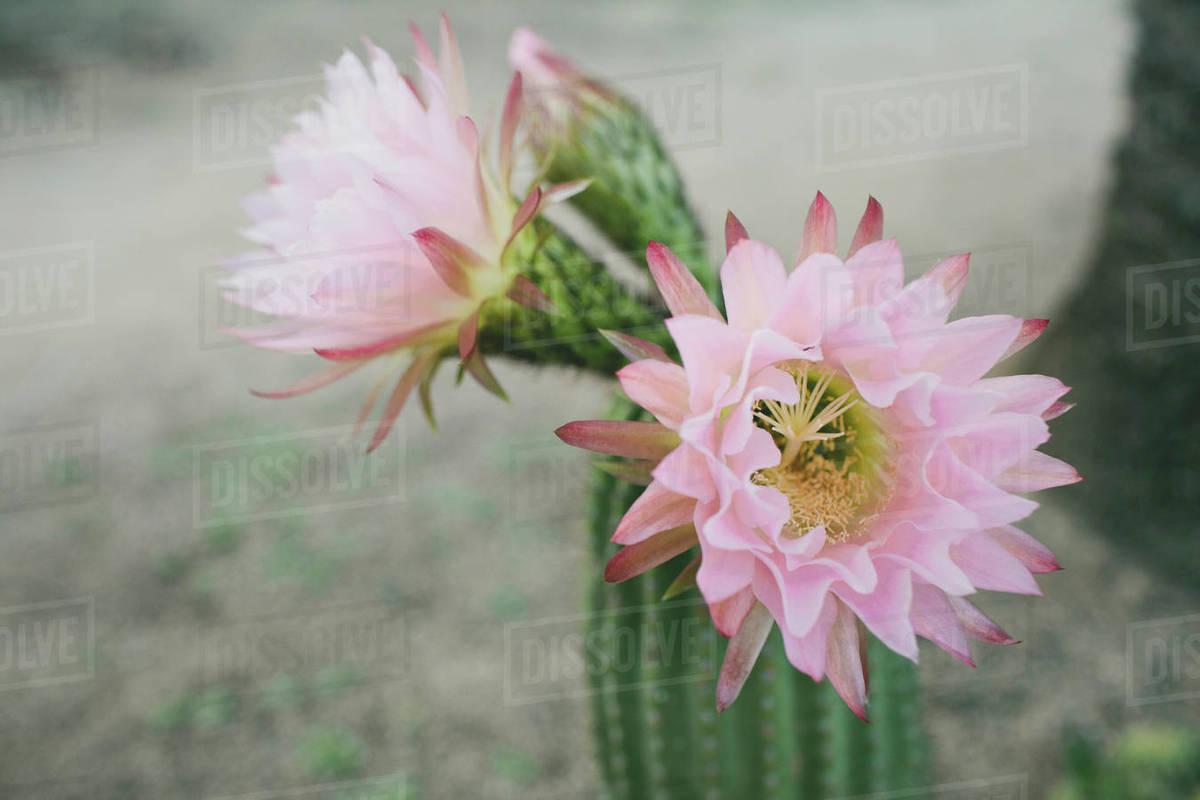 Close Up Of Flowers Growing On Cactus At Field Stock Photo Dissolve