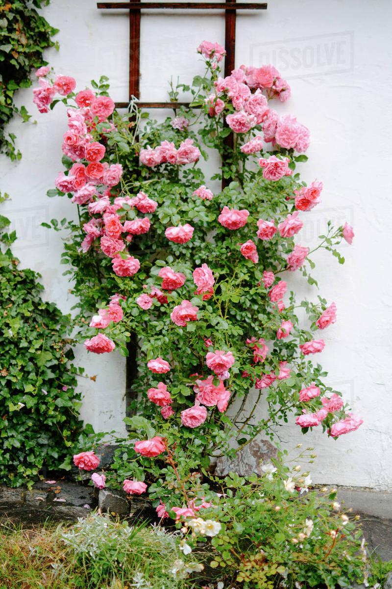 Flowering Plants Growing Against Wall In Garden