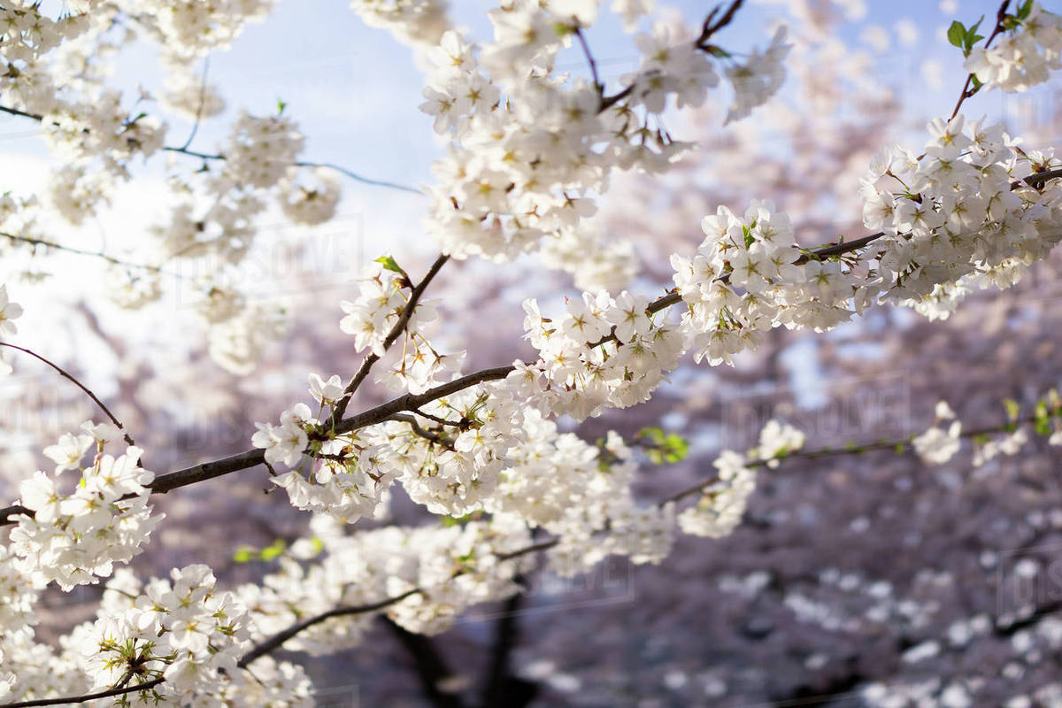 Close Up Of White Cherry Blossoms Growing Outdoors Stock Photo