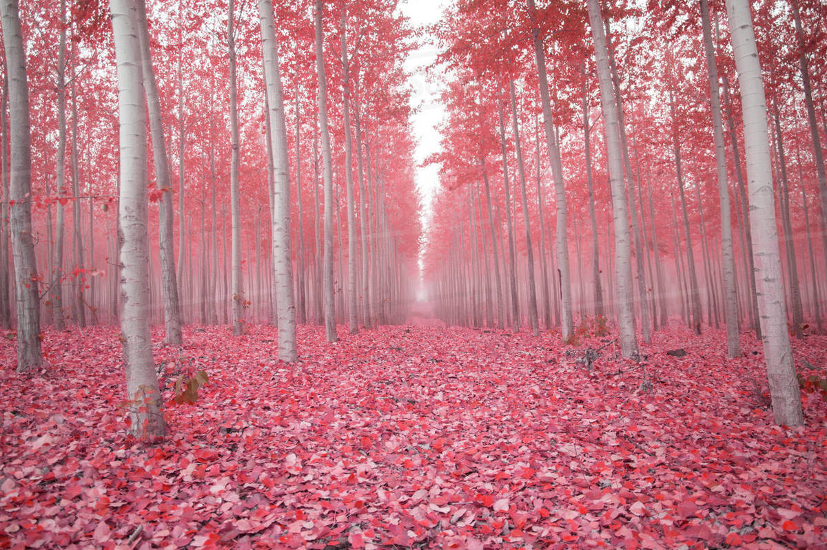 Scenic View Of Trees Amidst Pink Fallen Leaves In Forest During