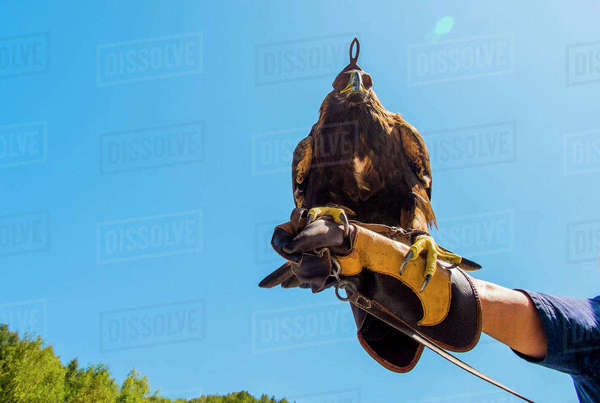 Low angle view of golden eagle perching on man's hand against clear sky Royalty-free stock photo