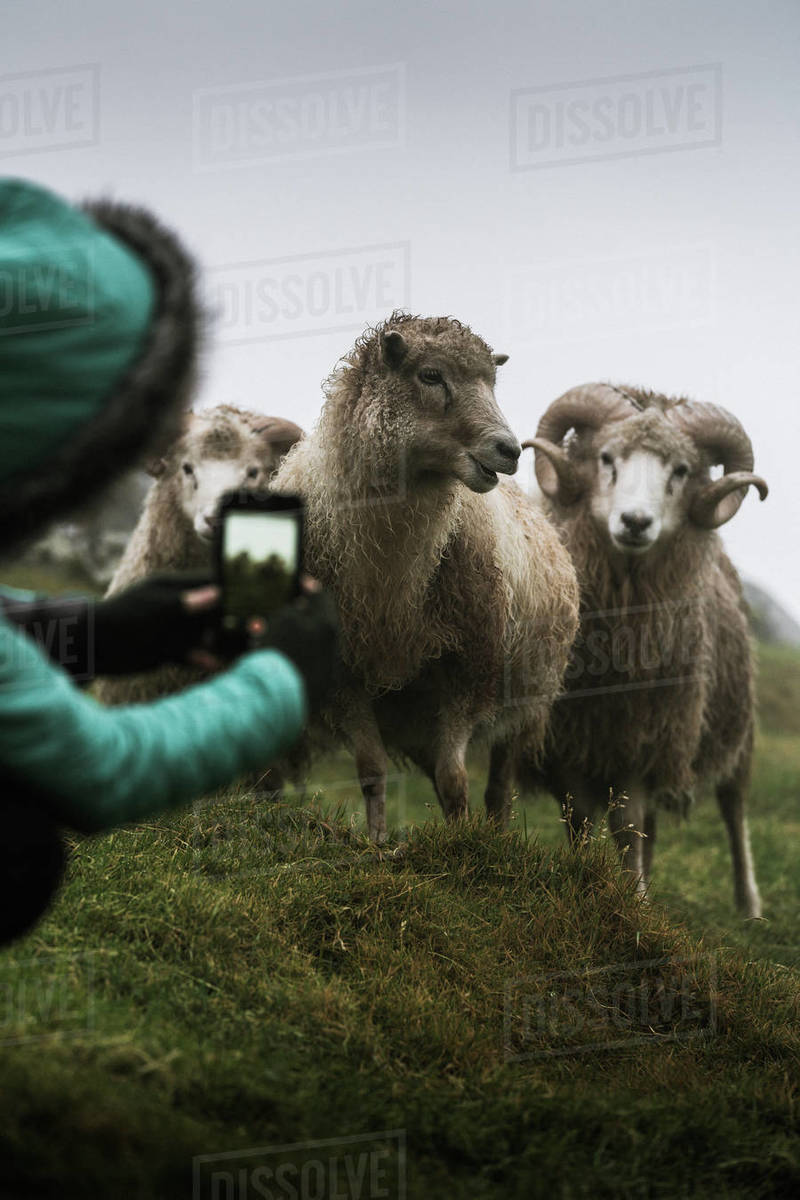 Woman taking picture of sheep with smartphone, Faroe Islands, denmark Royalty-free stock photo