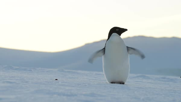 Full shot of an Adelie penguin flapping wings Royalty-free stock video