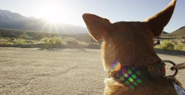 Hand-held shot of a dog looking around on a dirt road Royalty-free stock video