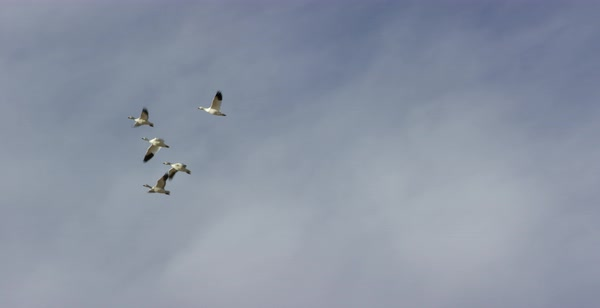 Tracking shot of flying snow geese Royalty-free stock video