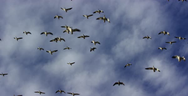 Slow motion shot of a flock of snow geese flying Royalty-free stock video