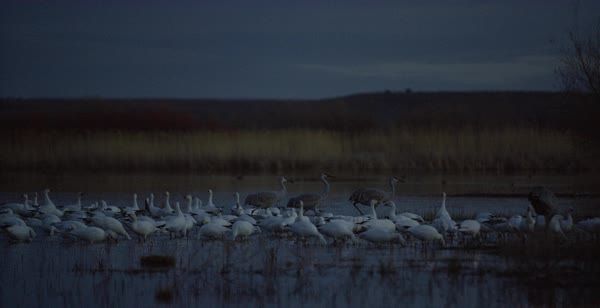 Panning shot of snow geese and sandhill cranes resting in a marsh Royalty-free stock video
