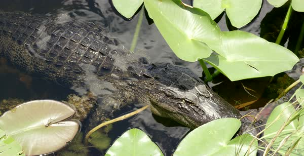 Hand-held shot of an alligator floating in water Royalty-free stock video