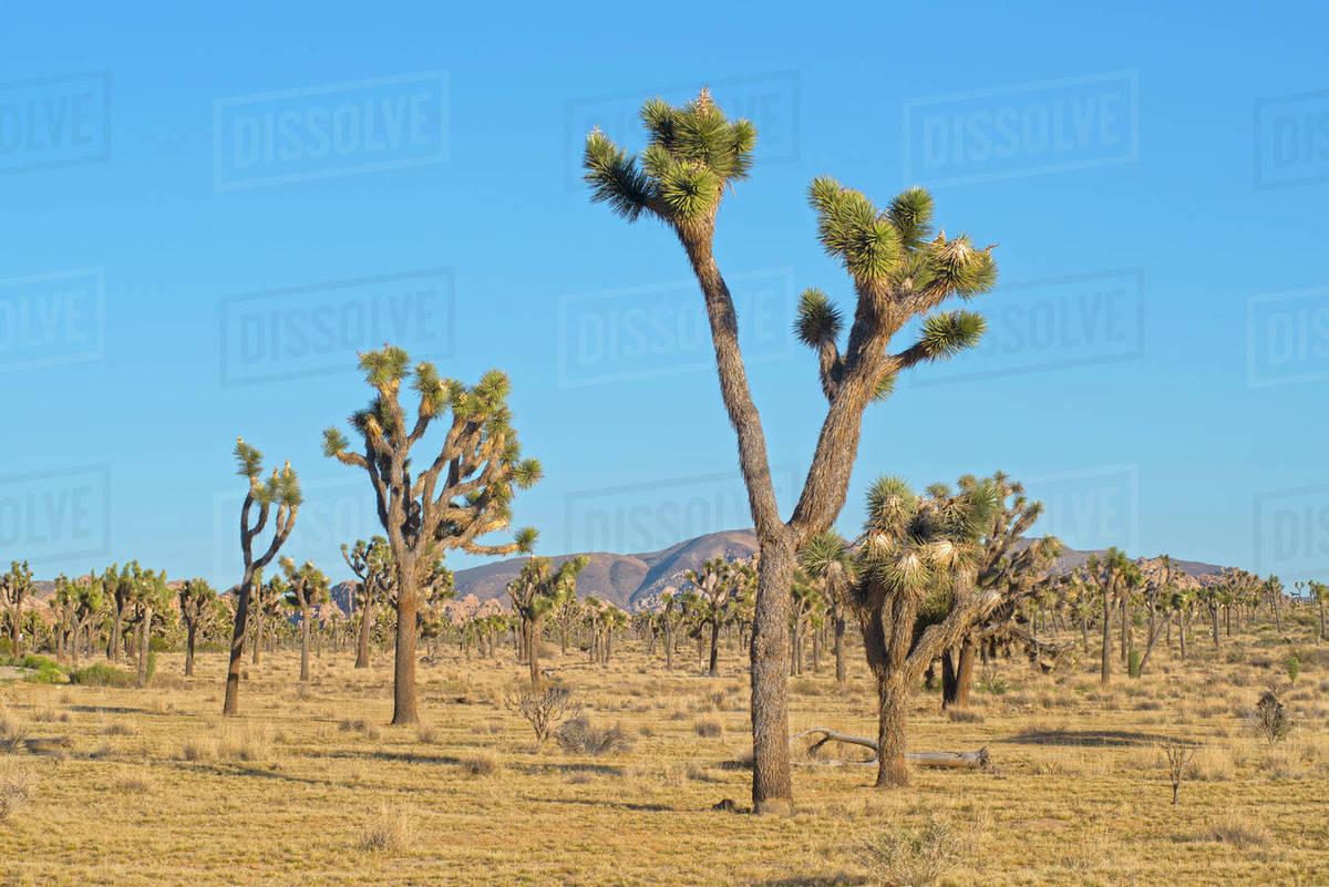 Joshua Trees In Mojave Desert California United States Stock