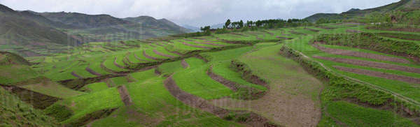 Barley crop grown on terraced hillsides Royalty-free stock photo