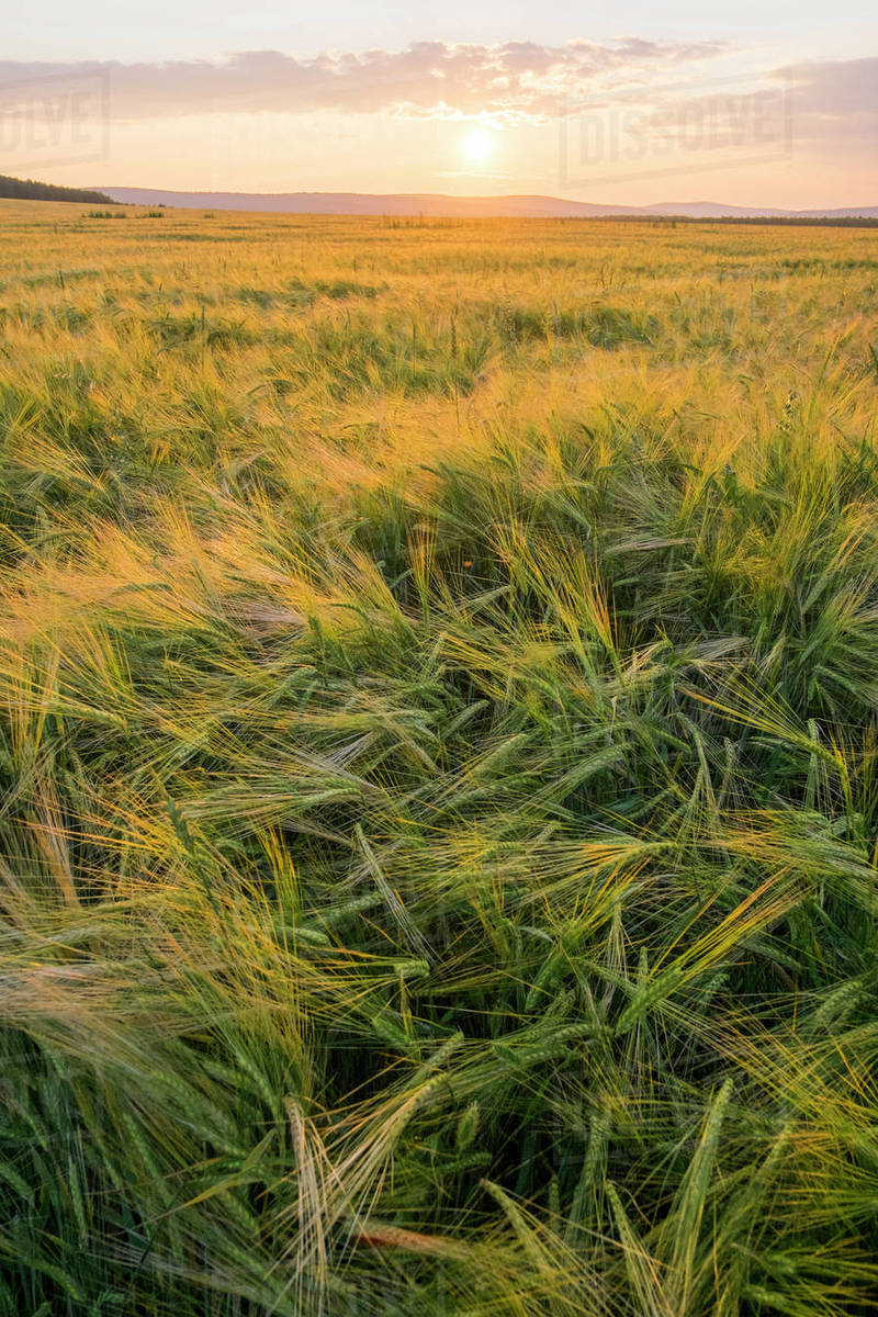 tall grass field forest field of tall grass at sunset stock photo dissolve