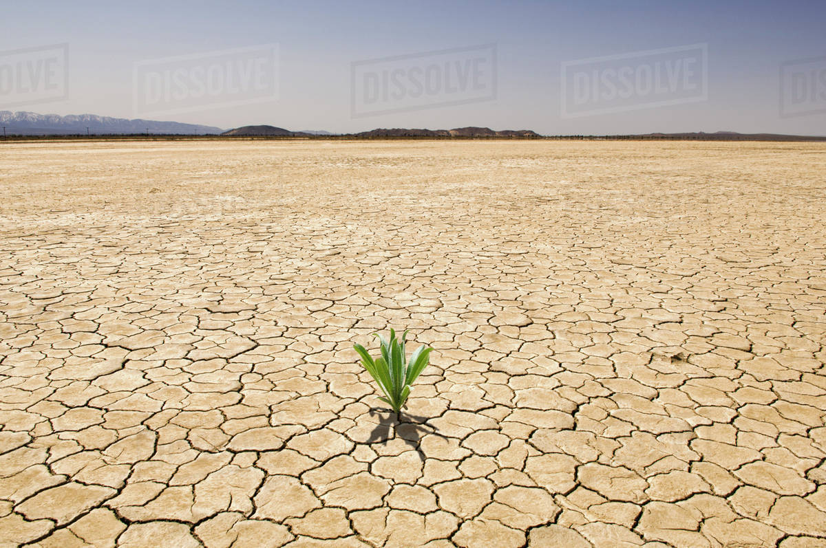Green plant growing from cracked dry soil in desert ...