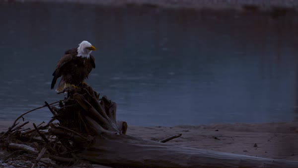 Slow motion shot of bald eagle shaking head on driftwood Rights-managed stock video