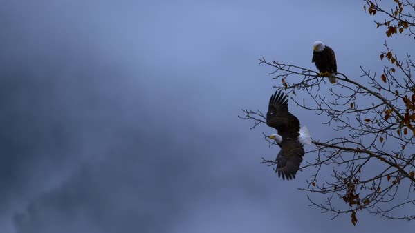 Slow motion shot of bald eagle taking off from branches Rights-managed stock video
