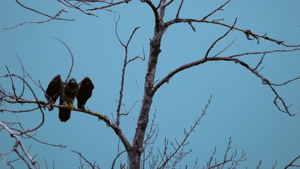 Slow motion shot of female bald eagle launching from treetop Rights-managed stock video