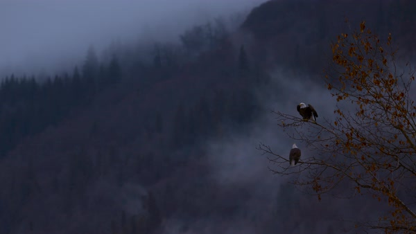 Wide shot of bald eagle taking off from tree Rights-managed stock video