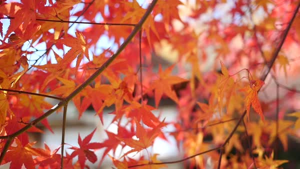Shot begins with a beautiful close-up of vibrant orange autumn leaves and then pans to the left to reveal a man with a backpack looking forwards towards an old Japanese-style building Royalty-free stock video