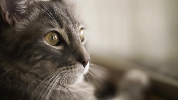 Hand-held shot of a cat looking around by a window Royalty-free stock video