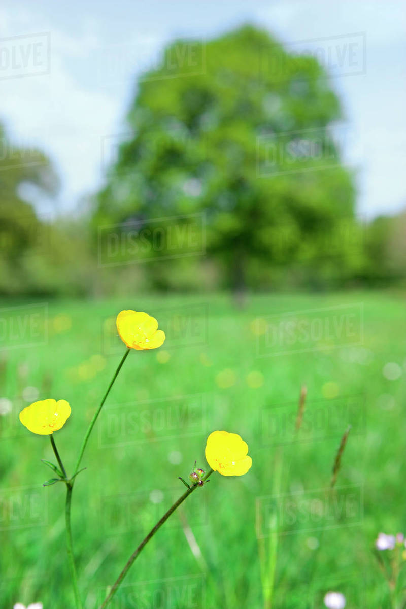 Close Up Of Yellow Flowers In Field Stock Photo Dissolve