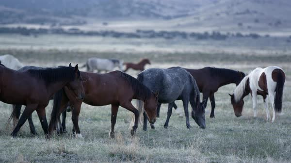 Wild horses grazing in slow motion at dawn in the desert of Utah. Royalty-free stock video