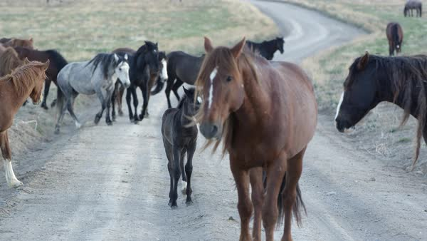 View of wild horses walking across a dirt road while the camera pans. Royalty-free stock video