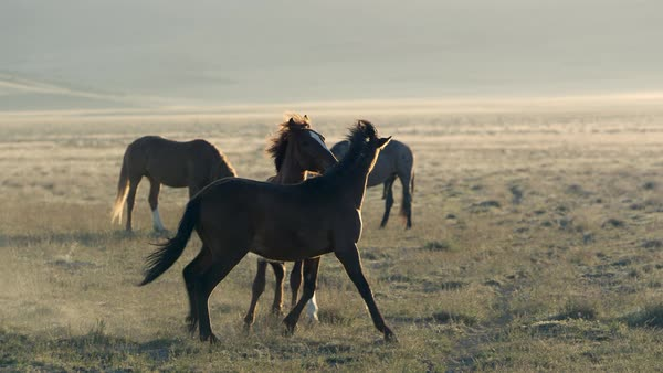 Two wild horses playing in a field with each other as the sun backlights them and the dust. Royalty-free stock video