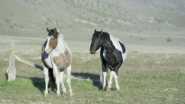 Two will horses standing then start running other horses join in as they pass by. Royalty-free stock video