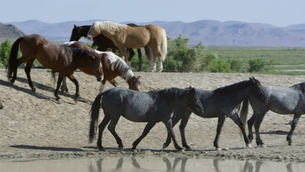 Panning view following horses walk around water hole in the Utah desert. Royalty-free stock video