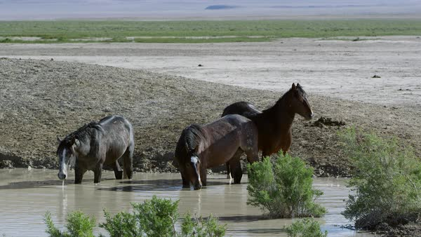 Three horses standing in water hole getting a drink in the Utah desert. Royalty-free stock video