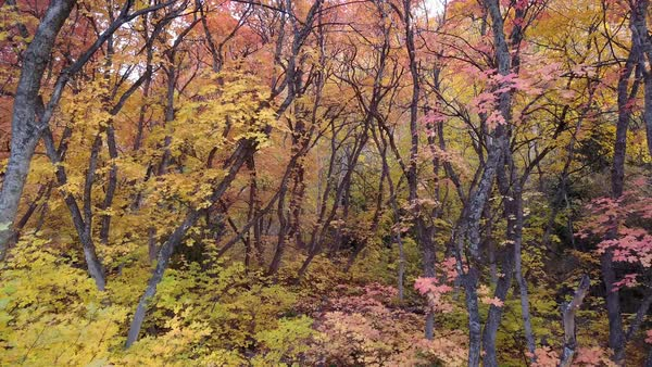 Flying slowly through forest with colorful foliage during fall in Utah. Royalty-free stock video