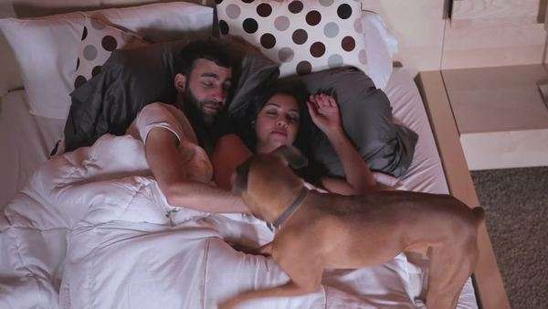 A couple is asleep when a cute little dog wakes them both up Royalty-free stock video