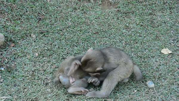 Three young Japanese macaques, Macaca fuscata, playing and fighting on the ground Royalty-free stock video