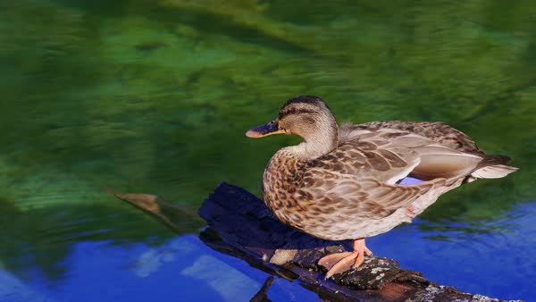 A Female Mallard Duck Is Warming Up In The Sun While Resting