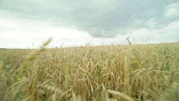 Camera moving across the wheat field spreading under the moody sky Royalty-free stock video