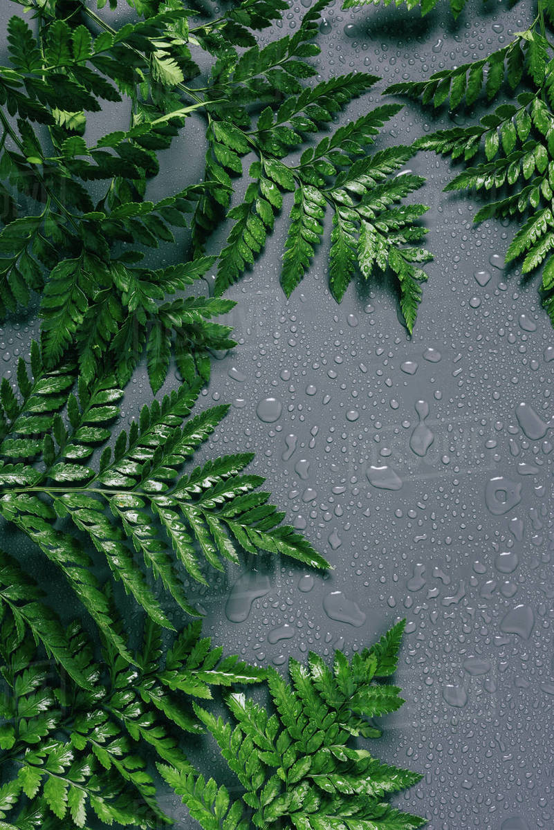 Flat Lay With Arrangement Of Green Fern Plants With Water Drops On