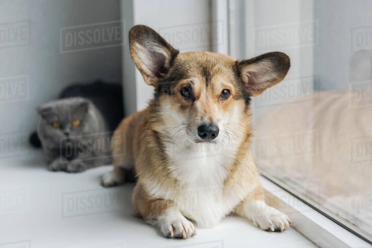 Cute Scottish Fold Cat And Adorable Corgi Dog Lying On Windowsill Together Stock Photo Dissolve