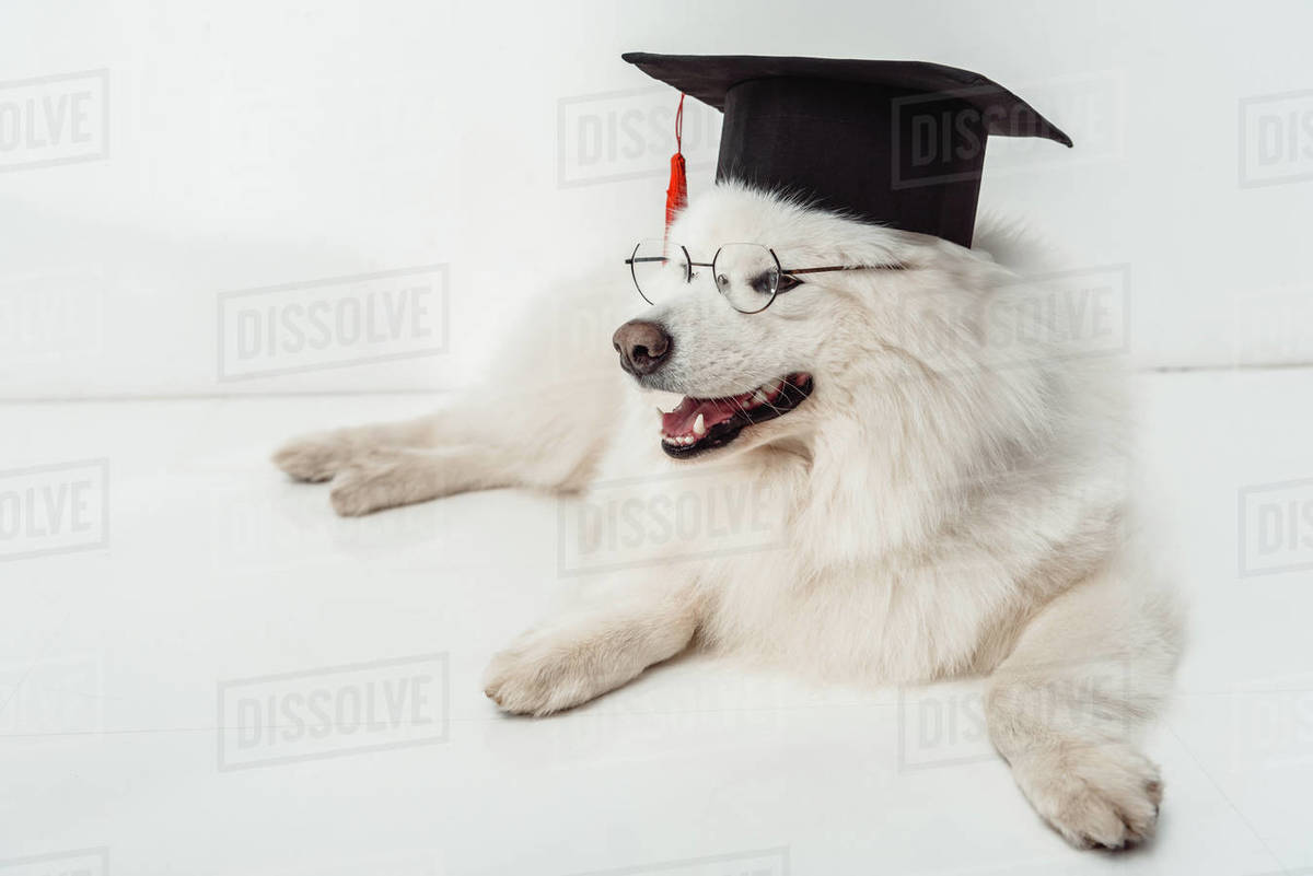 Furry Samoyed Dog In Square Academic Cap And Eyeglasses Lying On White Stock Photo Dissolve