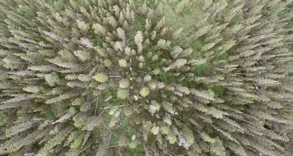 Aerial extreme wide shot of a dense pine forest Royalty-free stock video