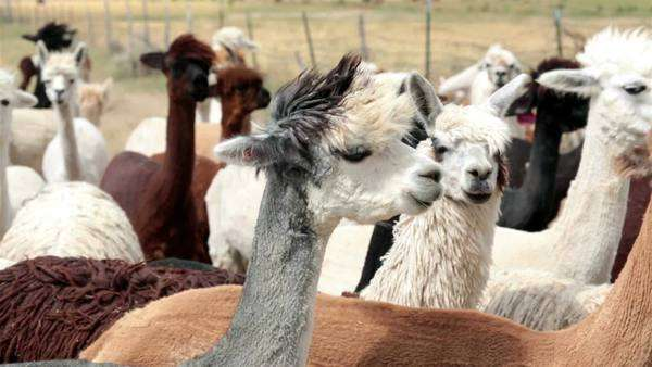 Alpaca livestock farm ranch in Utah. Farm and ranch herd of domestic livestock Alpaca, Llama family. Grown for luxury wool and breeding animals. Some sheared with haircut wearing funny punk hair style. Friendly family pets. Central Utah business. Royalty-free stock video
