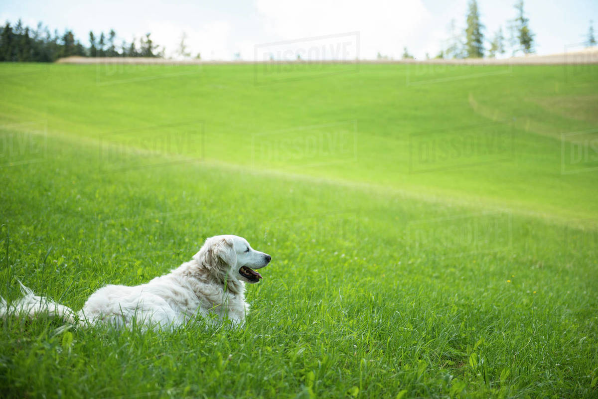 Golden retriever lying down in grass field  Royalty-free stock photo
