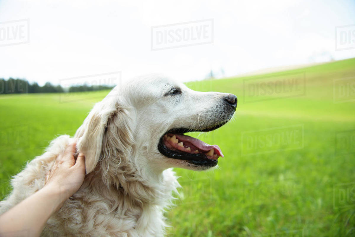 Close-up of golden retriever on walk in countryside area Royalty-free stock photo