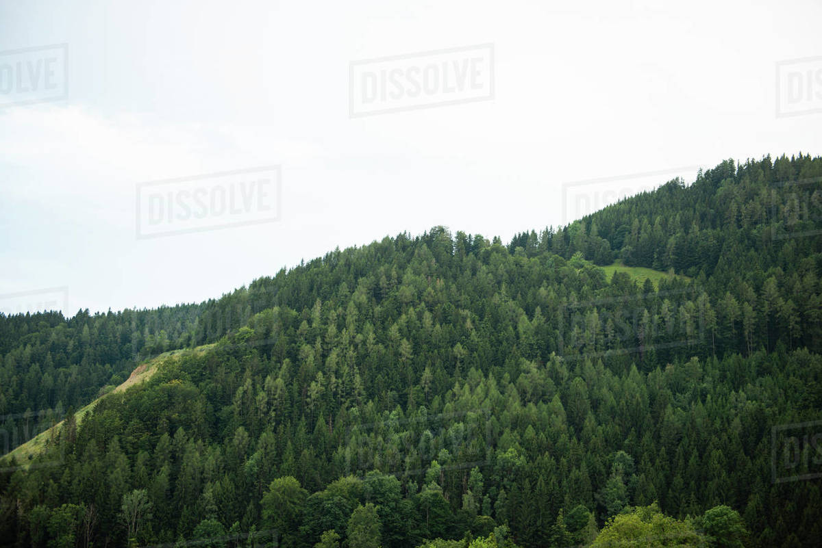 Panoramic view of spruce forest in mountains Royalty-free stock photo