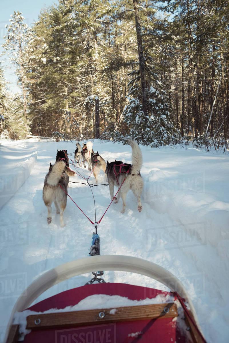 group of siberian dog pulling sleigh stock photo dissolve