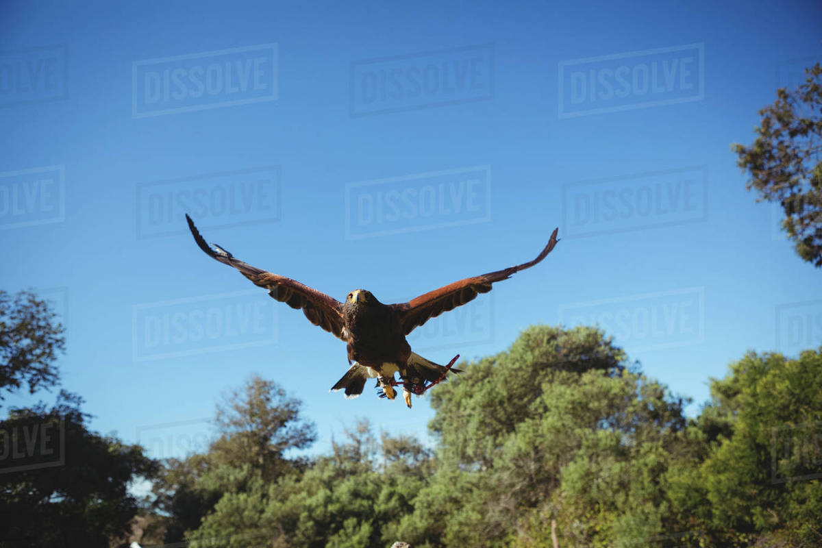 Golden Eagle Flying Above