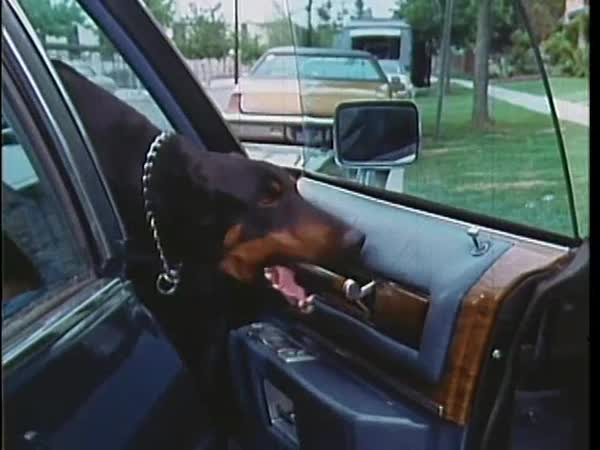 Doberman Pinscher jumping into car and closing door, 1970s Royalty-free stock video