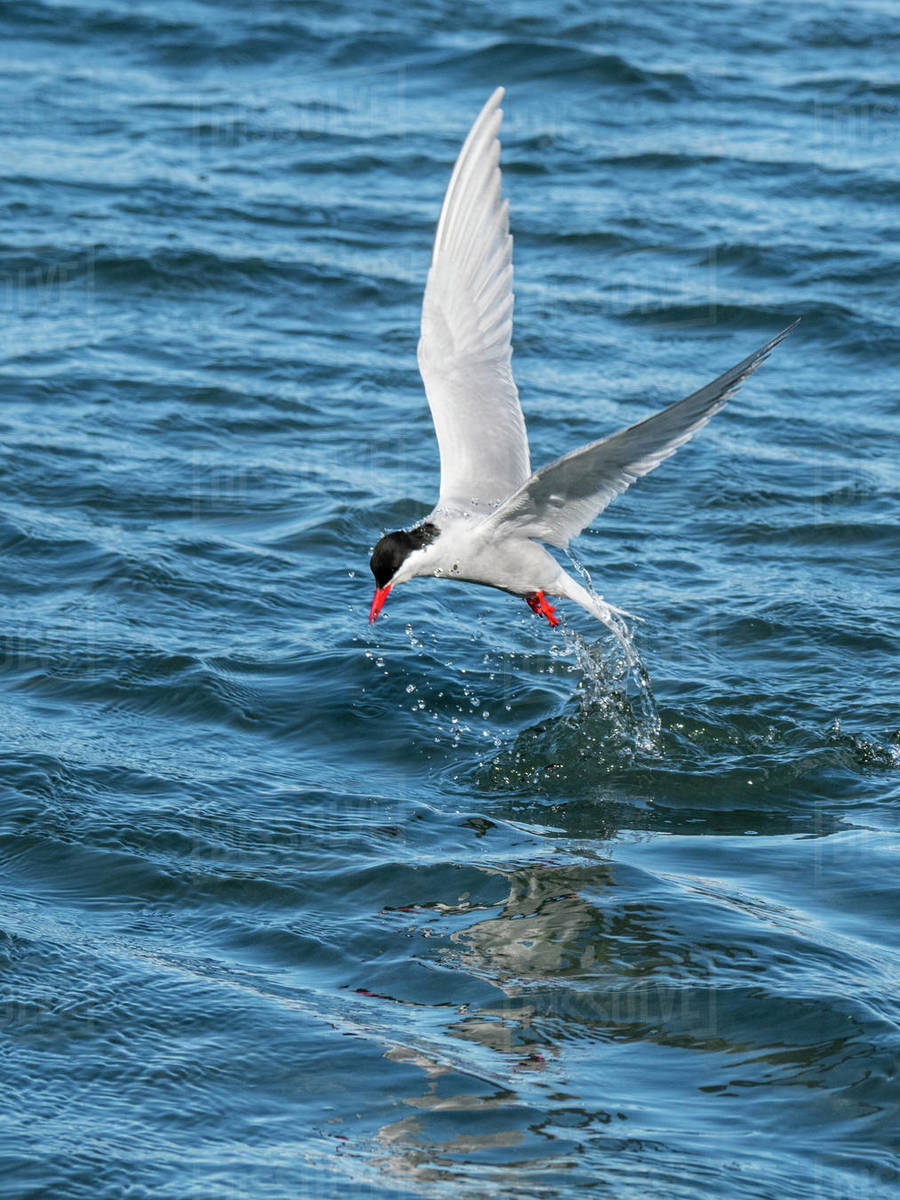 Adult Antarctic tern (Sterna vittata) plunge diving for food in Grytviken, South Georgia, Polar Regions Royalty-free stock photo