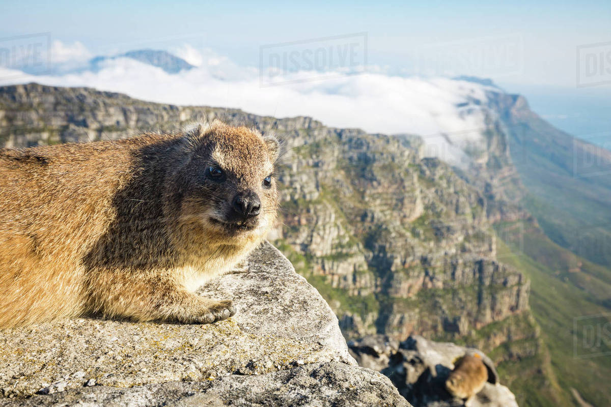 Rock Dassie Hyrax On Top Of Table Mountain Cape Town South - Table top mountain south africa