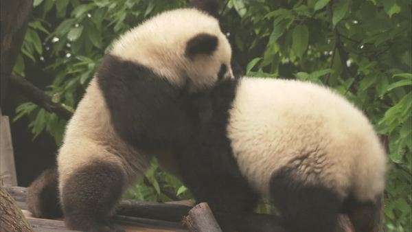 Giant Panda cubs, Chengdu Panda Base, Sichuan, China Rights-managed stock video
