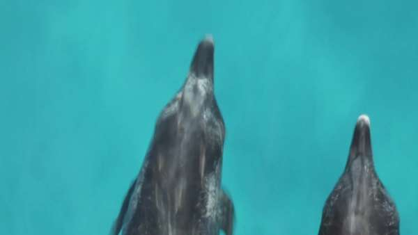 Two Atlantic Spotted Dolphins bow riding, shot from above, occasionally surfacing to breath Rights-managed stock video